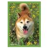 ブロッコリー ハイブリッドスリーブ 菜の花と柴犬
